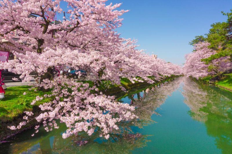 cherry-blossom-hirosaki-park-japan-xlarge