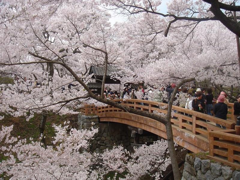 takato_castle_cherry_blossom_festival_japan